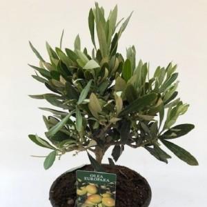Olea europaea (Green Collect Sales)