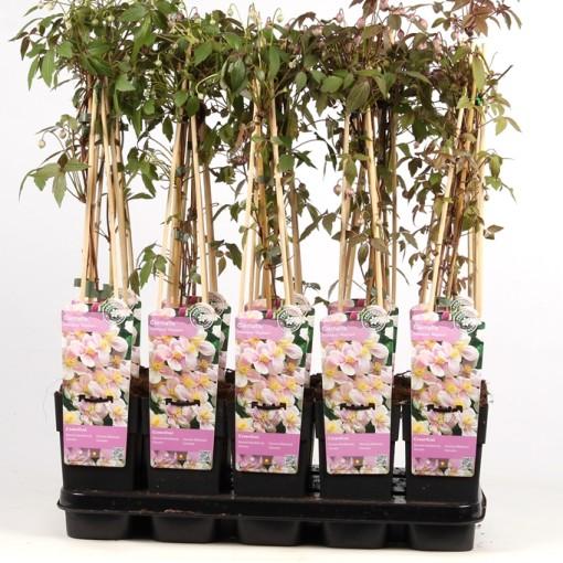 Clematis montana rubens (Hoogeveen Plants)