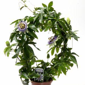 Passiflora caerulea (Gasa DK)