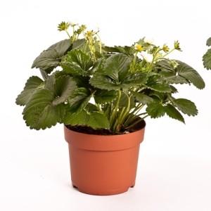 Fragaria x ananassa 'Delizz' (Bunnik Plants)