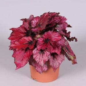 Begonia REX MIX (Amstelzicht BV)