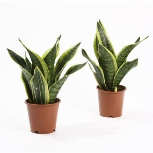 Sansevieria trifasciata 'Futura Superba' (Bunnik Plants)