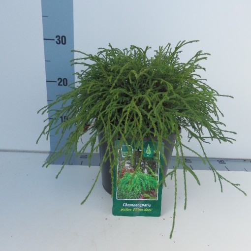 Chamaecyparis pisifera 'Filifera Nana' (Koekoek Potcultures, de)