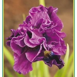 Iris SIBERIAN MIX (Gebr. Griffioen)