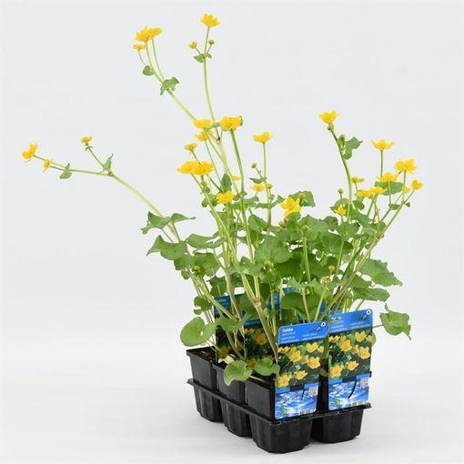 Caltha palustris (Moerings Waterplanten)