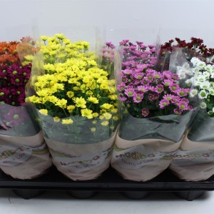 Chrysanthemum MADIBA MIX