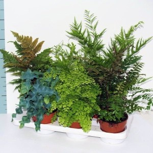 Ferns MIX