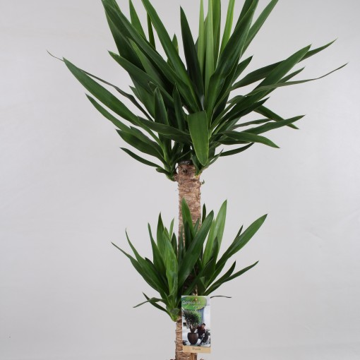 Yucca elephantipes (Vireõ Plant Sales)