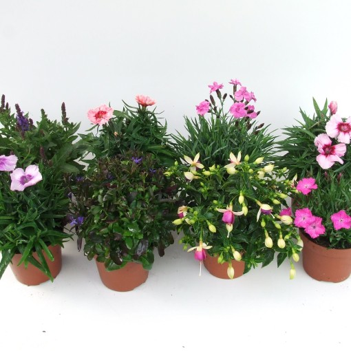 Perennials MIX (Kwekerij Scholte)