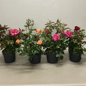 Rosa CASTLE COLLECTION MIX (Nolina Kwekerijen B.V.)