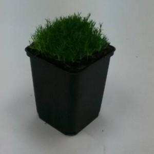 Sagina subulata (WTM de Boer)