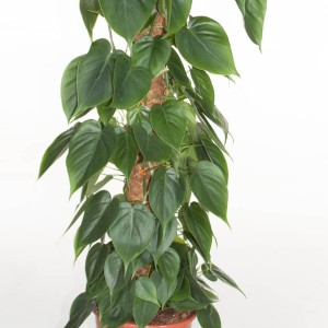 Philodendron scandens (Ammerlaan )