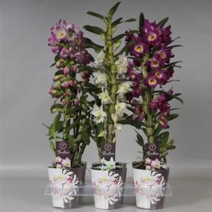 Dendrobium nobile MIX