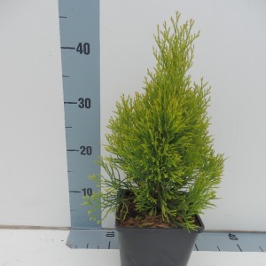 Thuja occidentalis GOLDEN SMARAGD