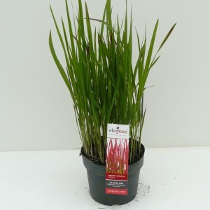 Imperata cylindrica 'Red Baron' (Experts in Green)