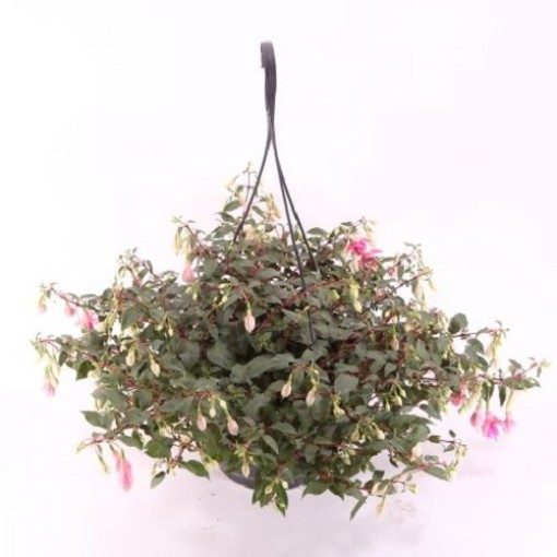 Fuchsia JOLLIES MIX (Experts in Green)
