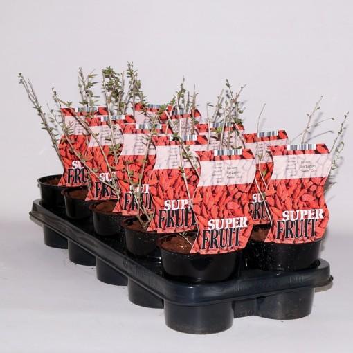 Lycium barbarum 'Sweet Goji' (BOGREEN Outdoor Plants)