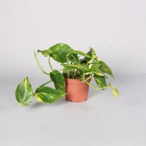 Epipremnum pinnatum 'Aureum'