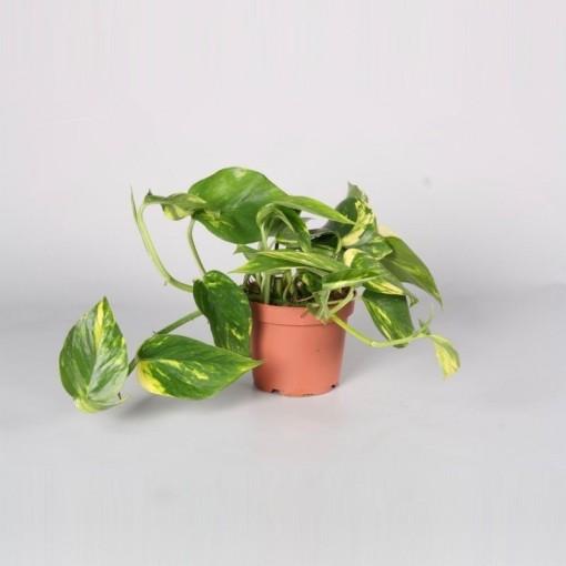 Epipremnum pinnatum 'Aureum' (BK Plant)