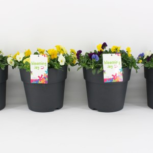 Viola CORNUTA MIX IN POT (Kwekerij Baas)