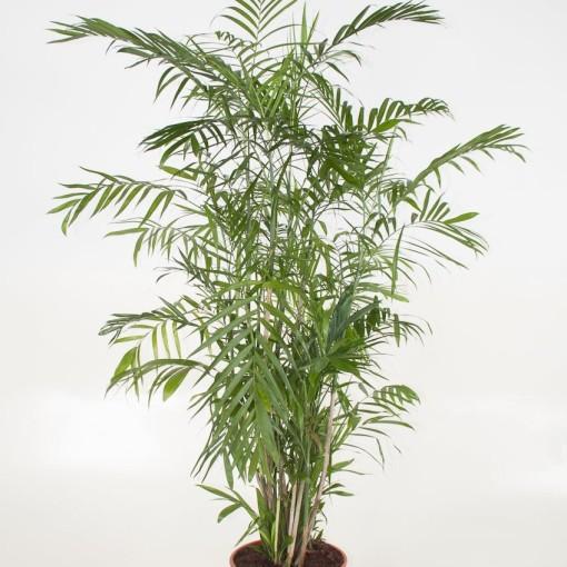 Chamaedorea seifrizii (Ammerlaan, The Green Innovater)