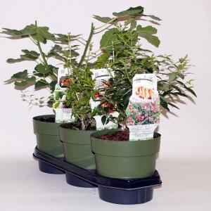 Fruit plants MIX (BOGREEN Outdoor Plants)