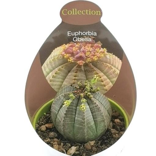 Euphorbia obesa (Giromagi)