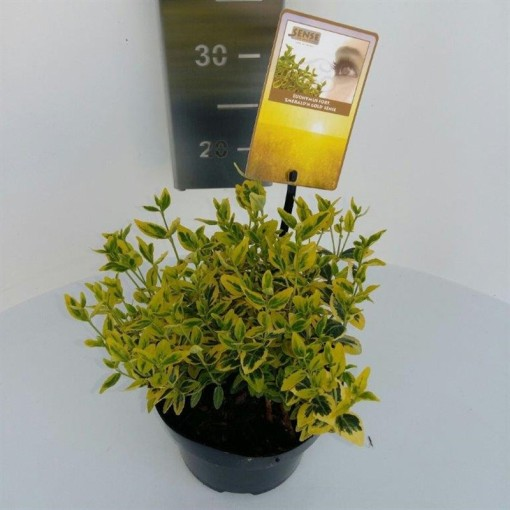 Euonymus fortunei 'Emerald 'n' Gold' (Asra Plant)