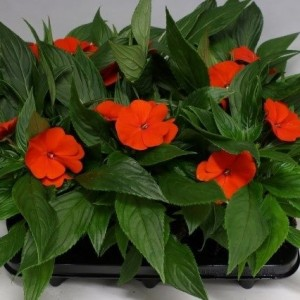 Impatiens COLORPOWER ORANGE RED