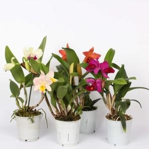 Cattleya MIX (Lansbergen Orchideeën)