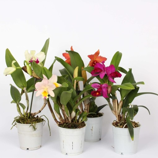 Cattleya MIX (Lansbergen Orchids)
