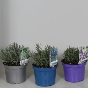 Lavandula angustifolia MIX