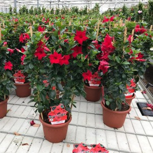 Mandevilla SUMMERSTAR RED