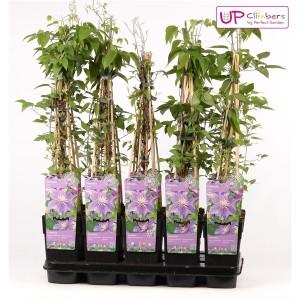 Clematis 'Justa' (Hoogeveen Plants)