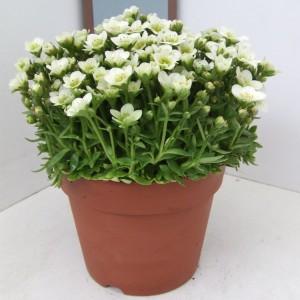 Saxifraga TOURAN WHITE (Kwekerij Scholte)