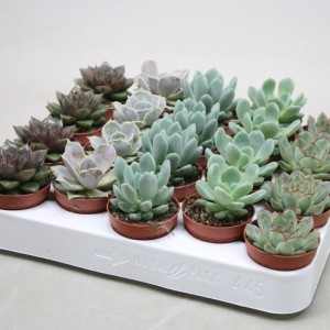 Echeveria MIX (Ubink)