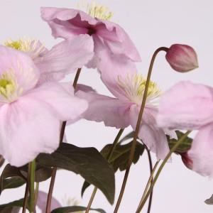 Clematis 'Mayleen' (Hoogeveen Plants)