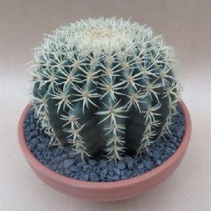 Echinocactus grusonii brevispinus