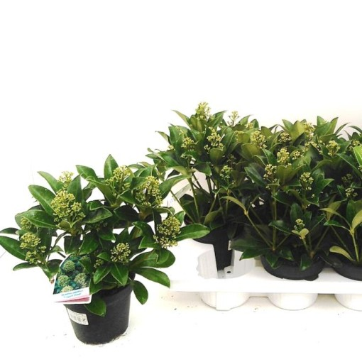 Skimmia japonica 'Fragrant Cloud' (Experts in Green)