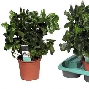 Philodendron selloum 'Atom'