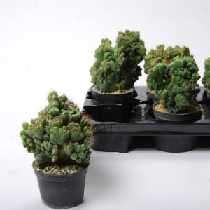 Cereus peruvianus 'Monstrosus' (Van der Arend Tropical Plantcenter)