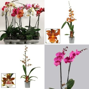 FA Orchids SELECTION #175