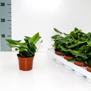 Hemionitis arifolia (Ruhe Varens B.V.)