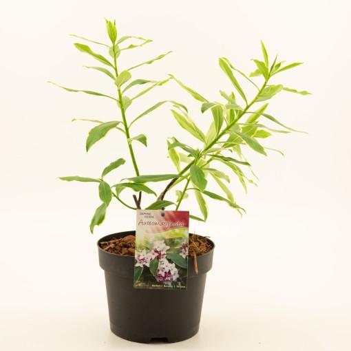 Daphne odora 'Aureomarginata' (Dool Botanic)