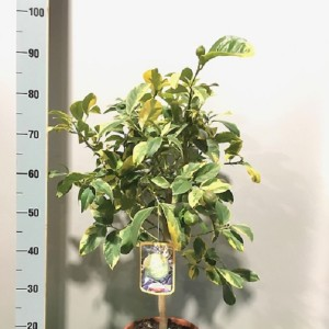 Citrus limon 'Variegata' (Flora Toscana)