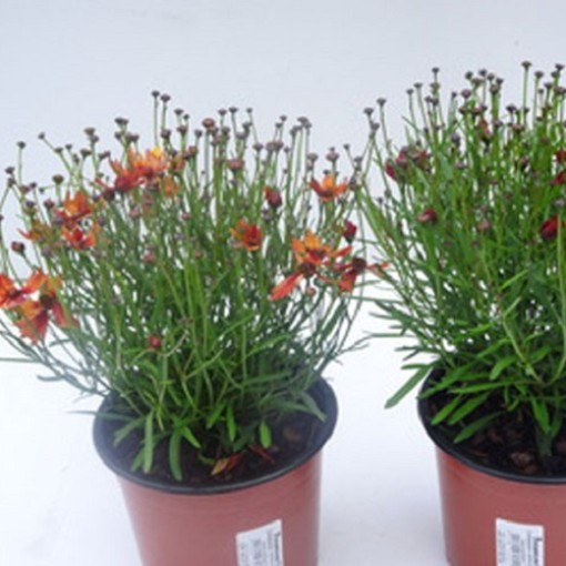 Coreopsis verticillata MIX (Experts in Green)