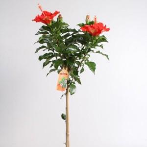 Hibiscus rosa-sinensis SUNNY PARIS