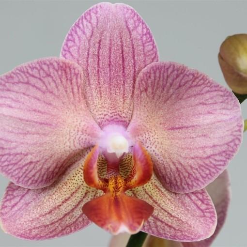 Phalaenopsis SALMION (Leerdam Orchideeën)