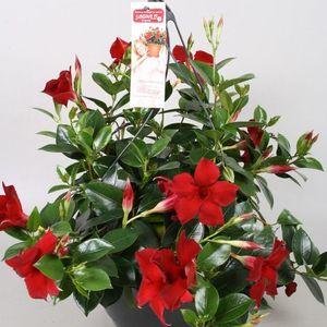 Mandevilla SUNDAVILLE BURGUNDY (Vireõ Plant Sales)