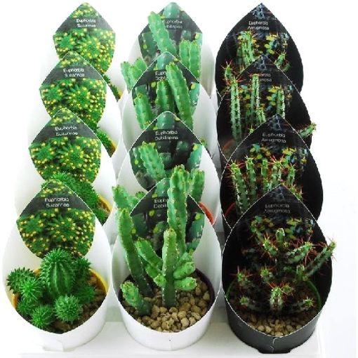 Euphorbia MIX (Giromagi)
